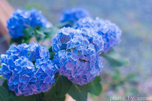 お得意様宅の紫陽花.jpg