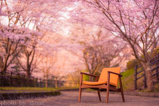 ロビンソンチェアと桜.jpg