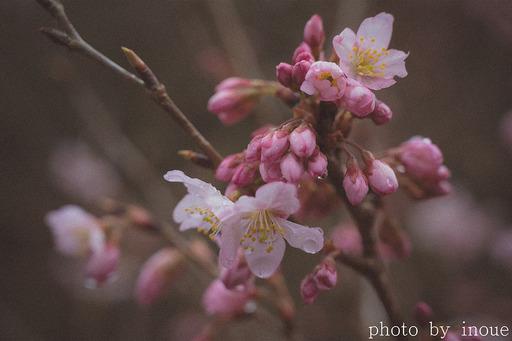桜の季節1.jpg