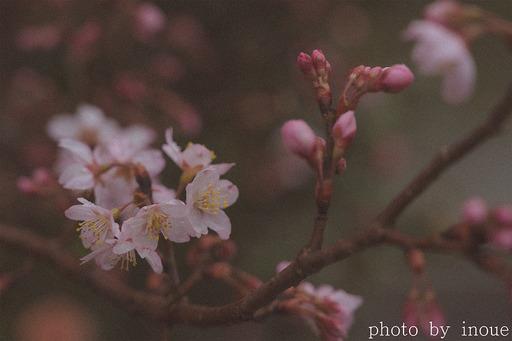 桜の季節2.jpg