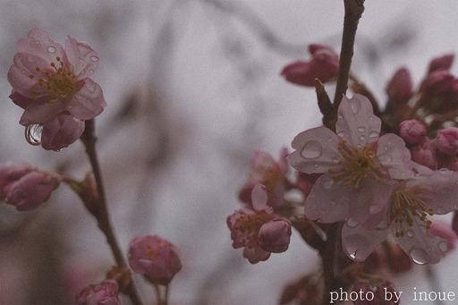 桜の季節3.jpg