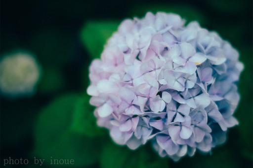 紫陽花フォト1.jpg