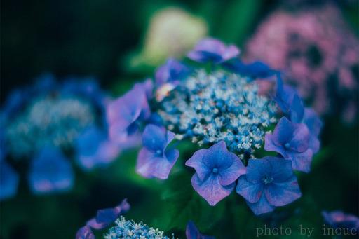 紫陽花フォト2.jpg
