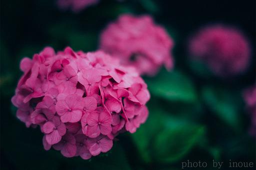 紫陽花フォト3.jpg