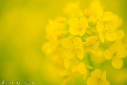 菜の花巡り6.jpg