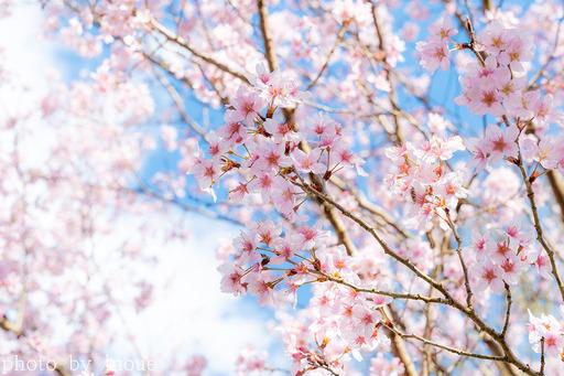 近所の桜1 のコピー.jpg