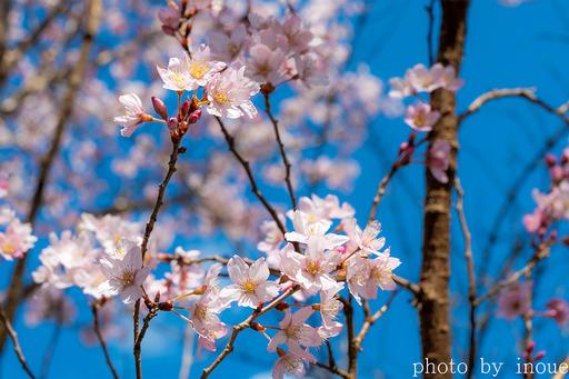 近所の桜2 のコピー.jpg