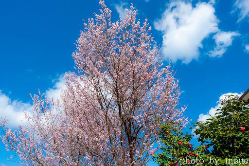 近所の桜4 のコピー.jpg