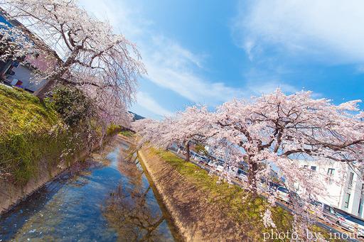 郷之谷川枝垂れ桜1.jpg